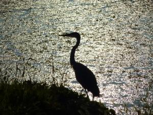 Elkhorn bird